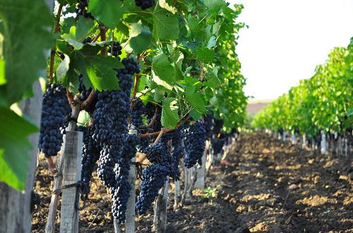 Синий виноград. Виноградник